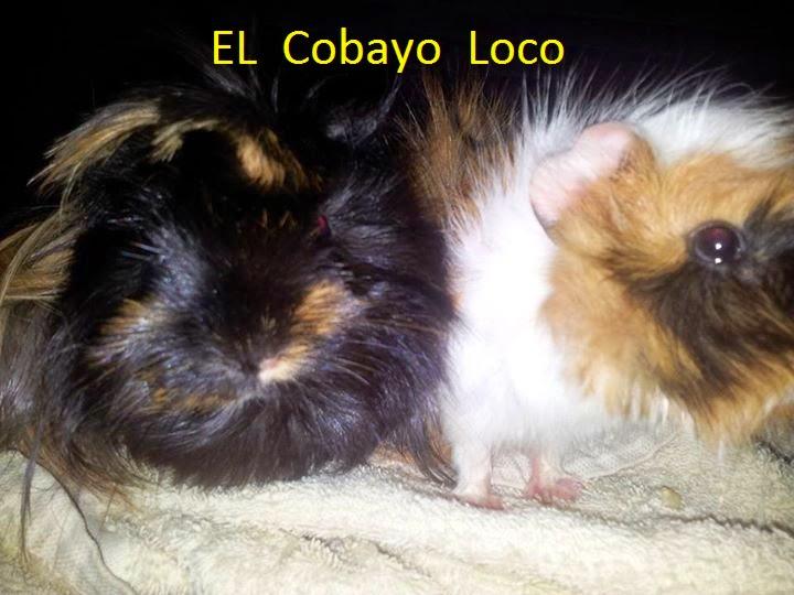 El Cobayo Loco