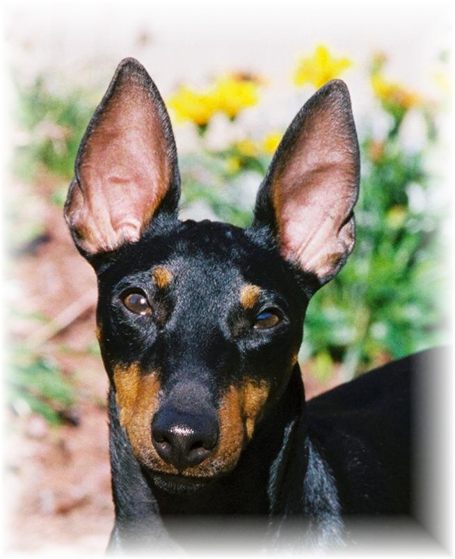 Toy Manchester Terrier Pics of Dogs