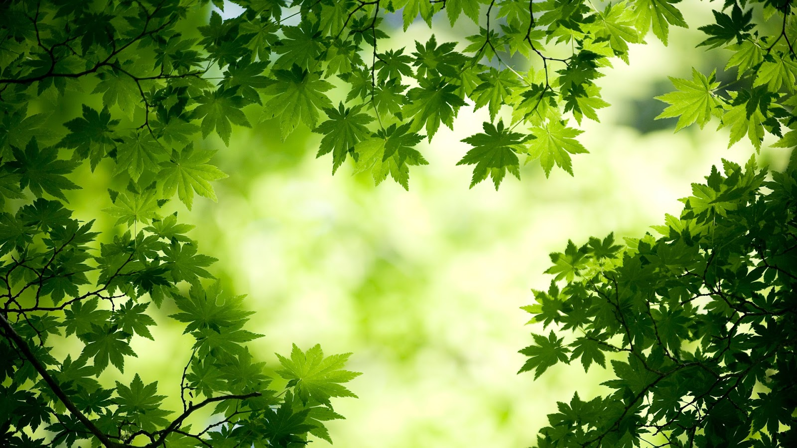 http://2.bp.blogspot.com/-4GbgQH76IkM/UKkOmNZf0tI/AAAAAAAAAw0/C8Nv3ZhjgPw/s1600/green_maple_leaves-1920x1080.jpg