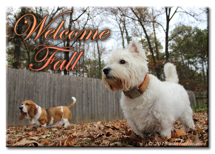 "Basset and Westie in the leaves ""Welcome Fall"""