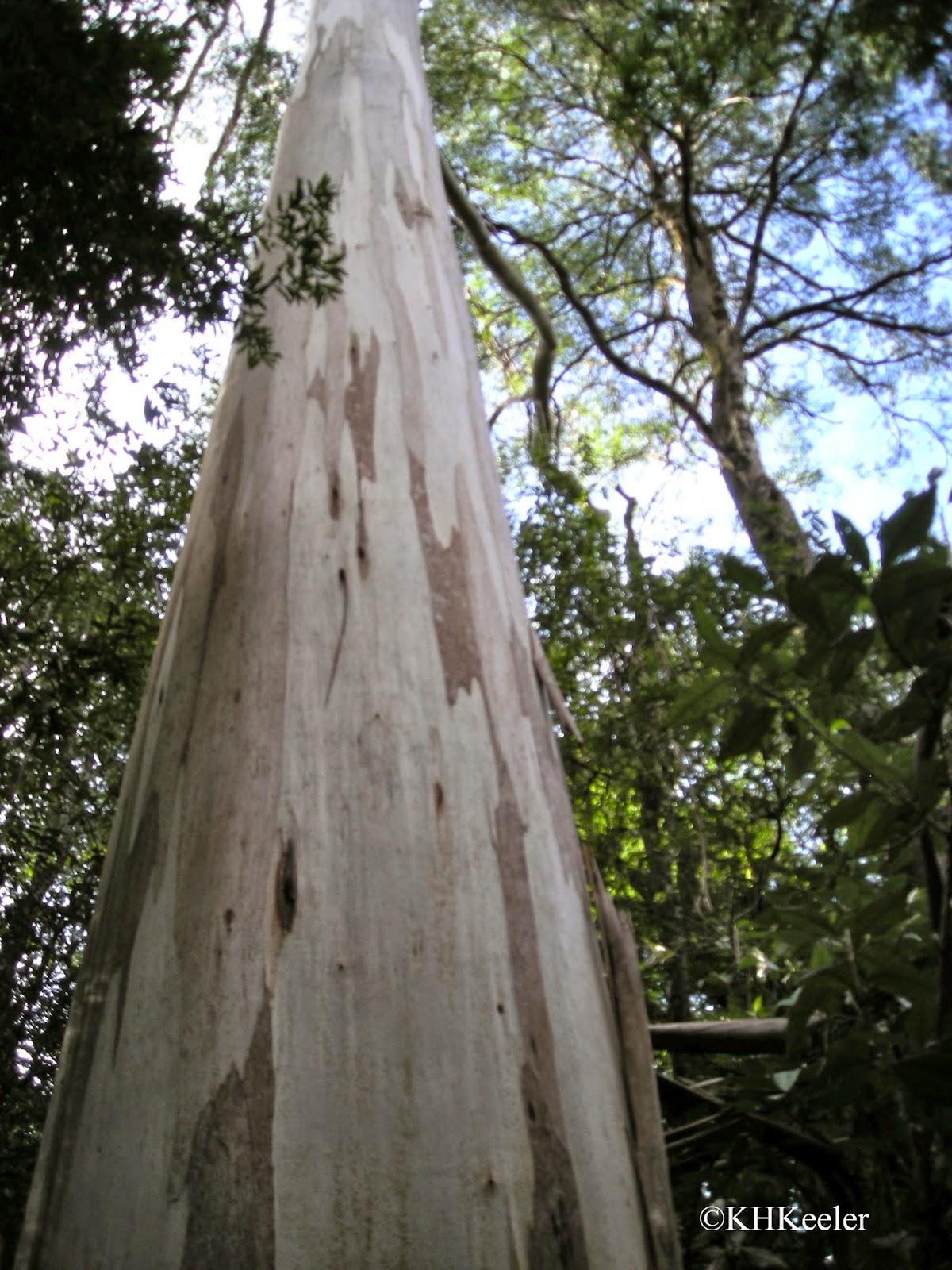 Eucalyptus regia, Victoria Austalia