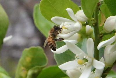 Spring Backyard Photography in Los Angeles - Pollinating Bee