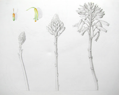 Graphite and watercolour studies of Aloe succotrina cactus flowers by Shevaun Doherty