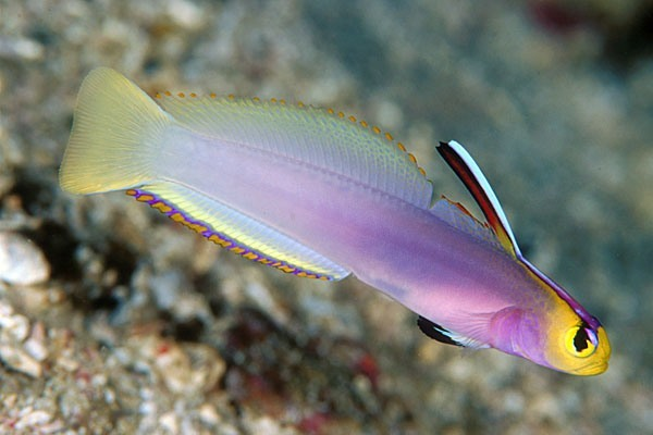 Gobies aquatic animals for Freshwater goby fish
