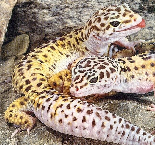 Leopard%2BGecko4 rape, dragon ball z, faiz,