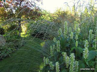 Molinia caerulea ' Moorhexe'