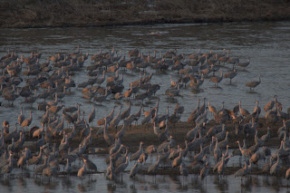 Sandhill Crane Migration - on the river