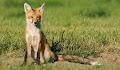 red fox hd wallpaper