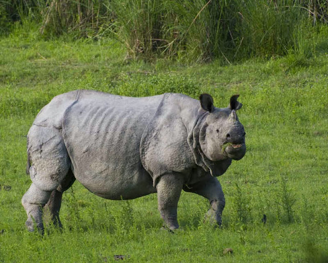El rinoceronte indio