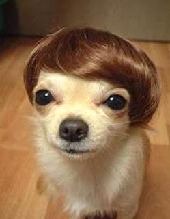 chihuahua com peruca