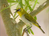 Perawatan bagi Burung PLeci