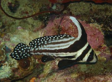 Fish index spotted drum equetus punctatus for Saltwater drum fish