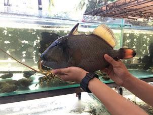 Cá Bò Giáp Sống
