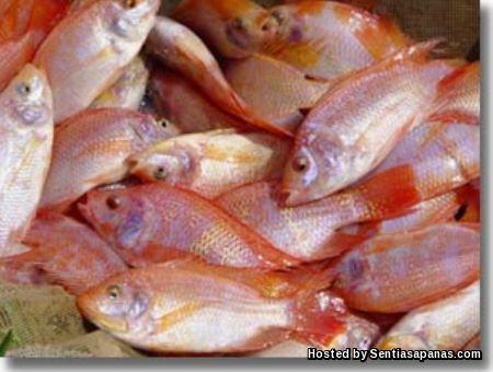 Ikan Tilapia Merah Taiwan