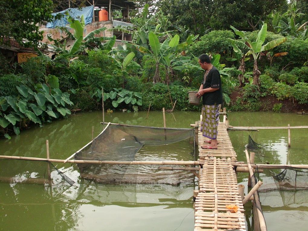 Distributor Peternakan Ikan Gurame Distributor Jual Ikan