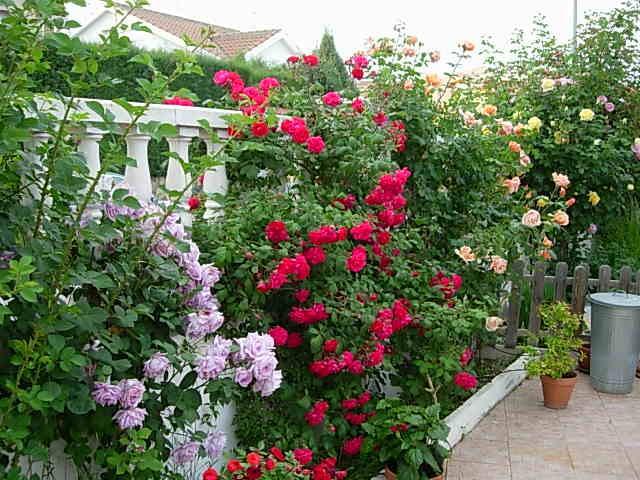 Arte y jardiner a rosas las reinas del color en el jard n - Jardines con rosas ...