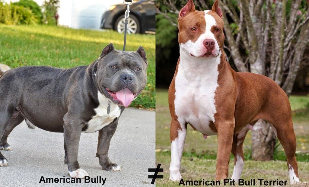 Blog do Pit Bull: American Bully VS American Pit Bull Terrier