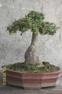 bonsai serut bentuk botol