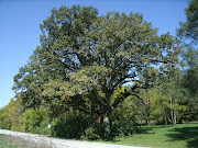 This old bur oak (Quercus macrocarpa) is on South River Road about a mile .