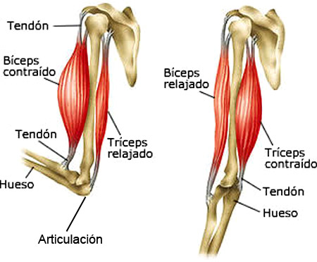 jhonier otaya : Todo Sobre Biologia...: Sistema Muscular.