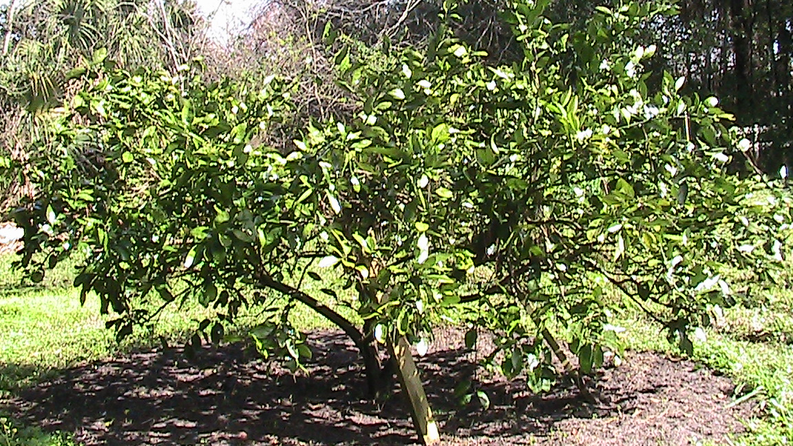 how to grow satsuma trees