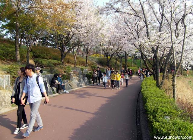 Parejita de coreanos paseando bajo los cerezos de Seokcho