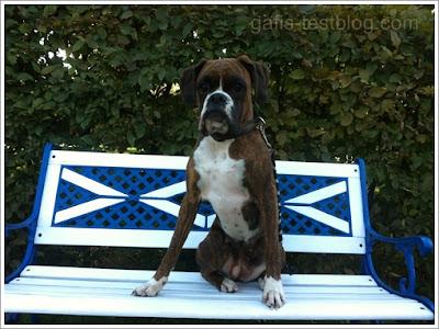 Boxer Amy auf der Gartenbank