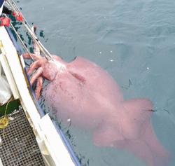 Giant Octopus - Hewan Teraneh