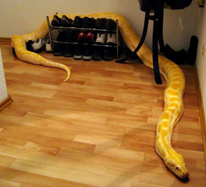 kad amarilla: