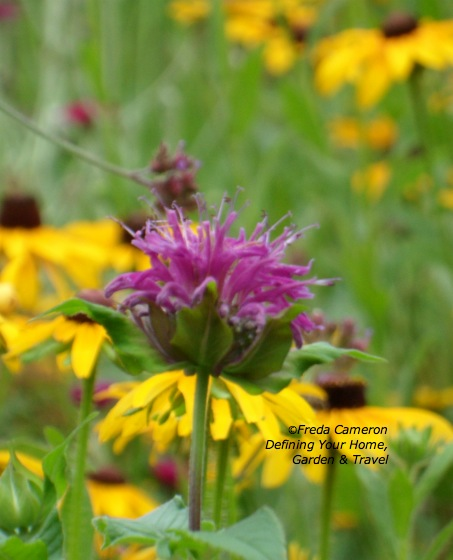 Monarda Blue Stocking close up by Defining Your Home Garden and Travel