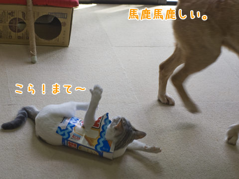 箱を着て犬と戦う子猫