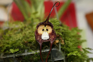 The Monkey Orchid Dracula Simia