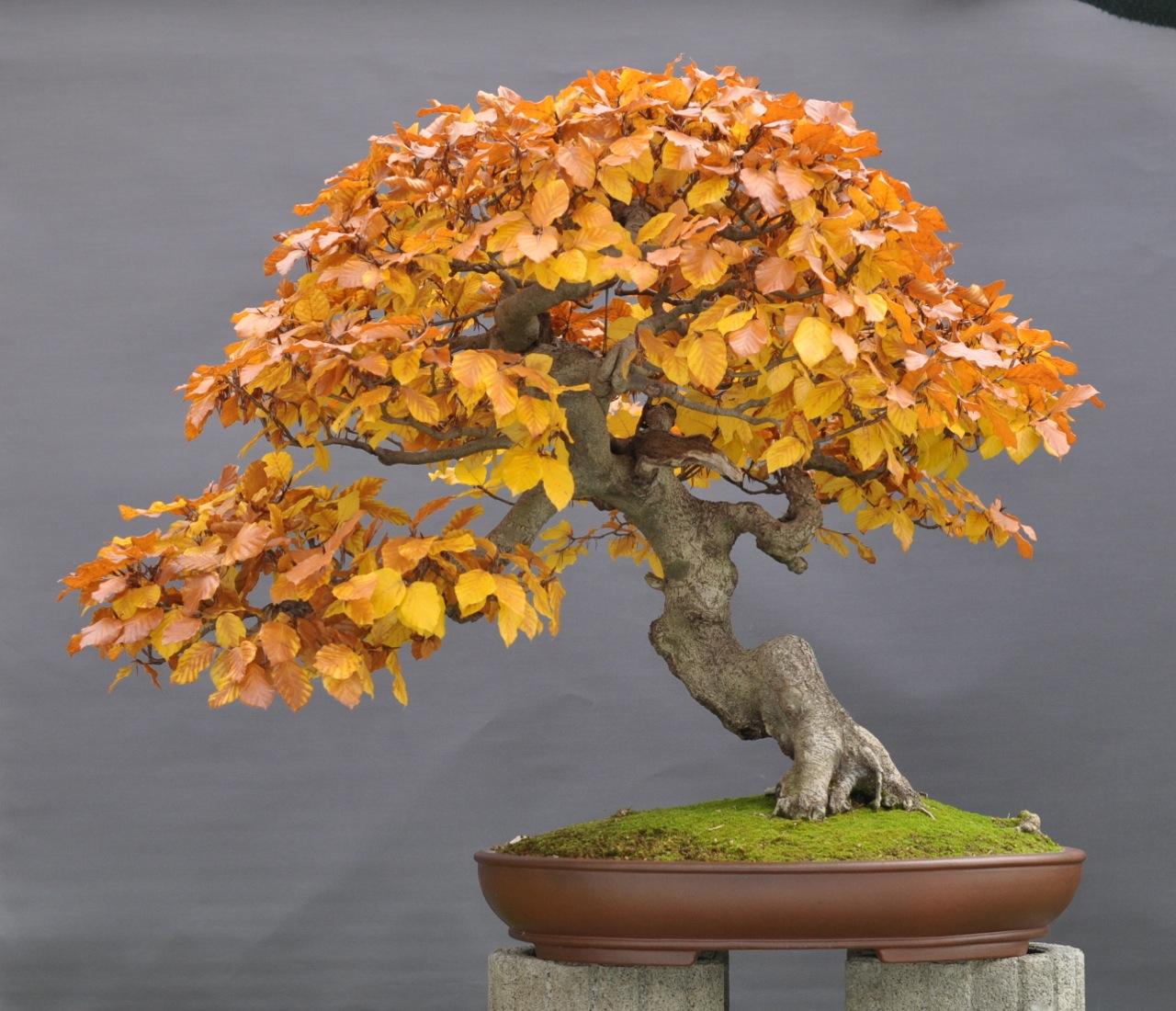 bonsai und beistellpflanzen oktober 2011. Black Bedroom Furniture Sets. Home Design Ideas