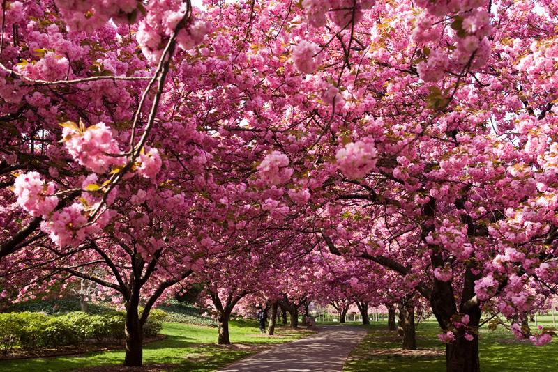 Blog do zu o a primavera for Sakura albero
