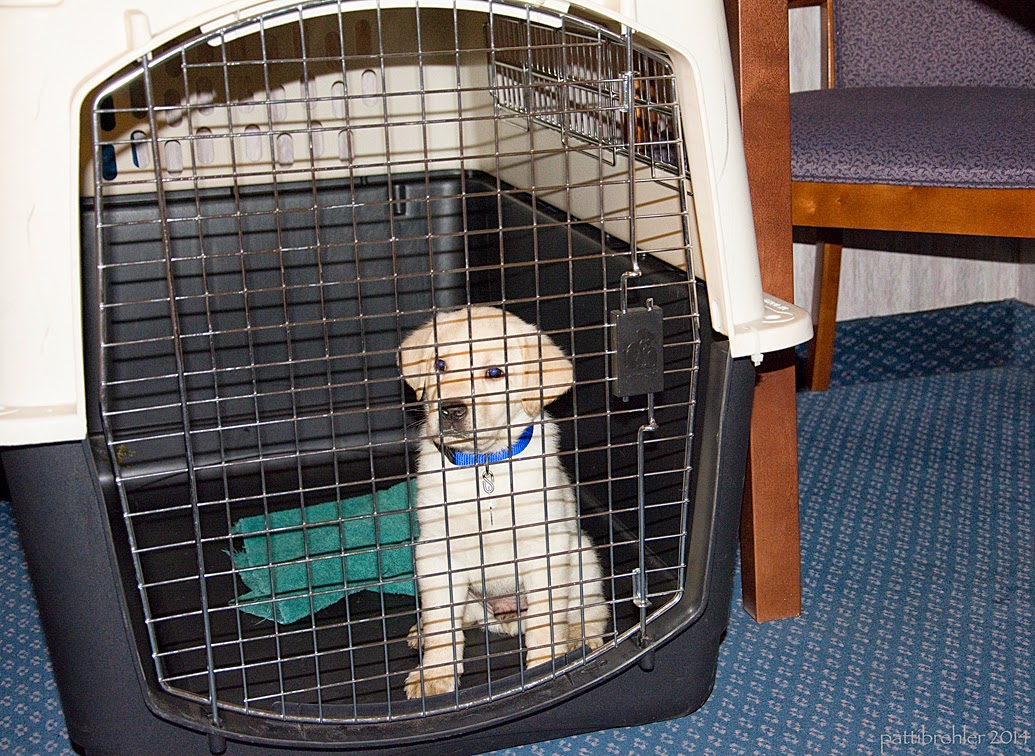 The small yellow lab is sitting inside a large airline crate. There is a green towel bunched up behind him. He is looking out of the crate, and wearing a blue collar. The crate is sitting on a blue carpet and there is a wood and cloth chair off to the left.