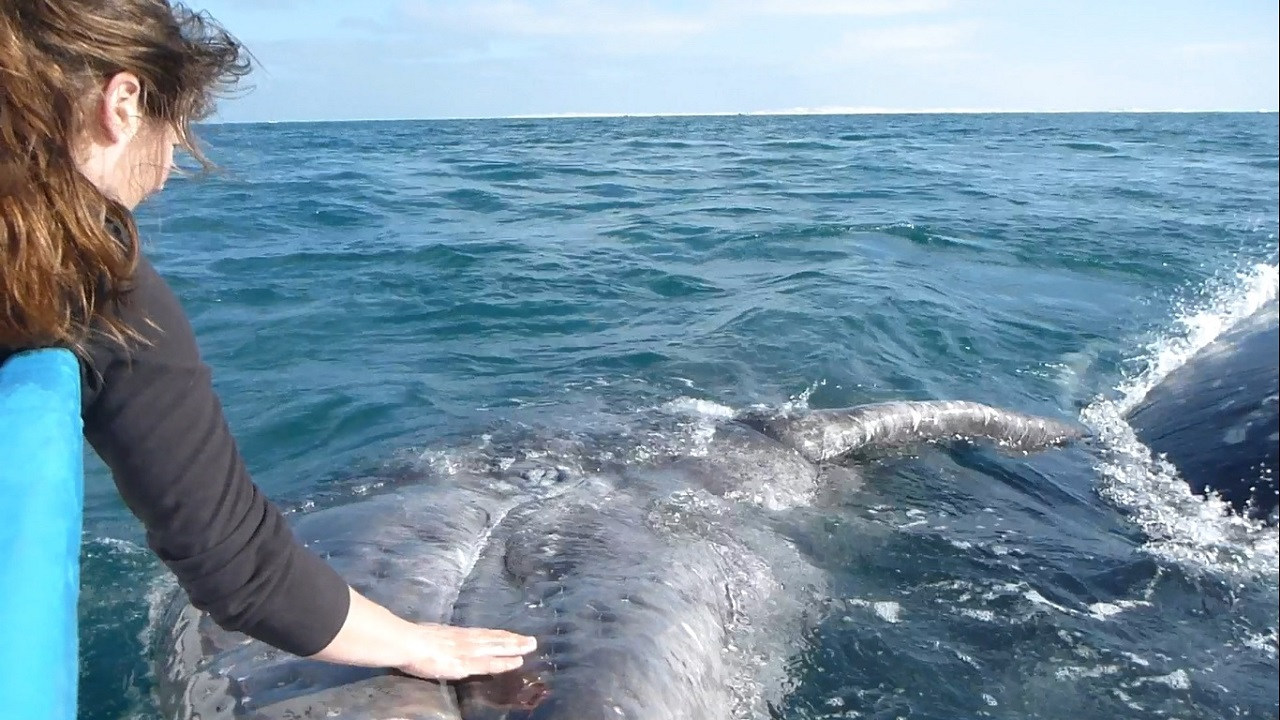 girl touching a baby gray whale in the wild