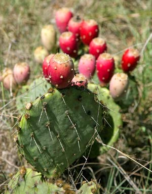 http://www.statesymbolsusa.org/Texas/Prickly_Pear_Cactus.html