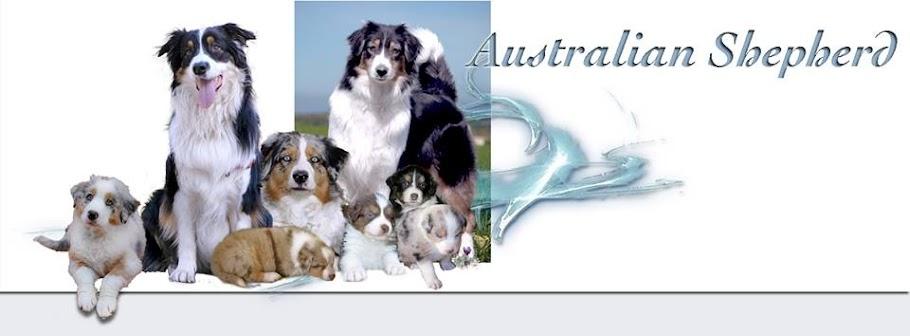 PASTOR AUSTRALIANO  (australian shepherd)