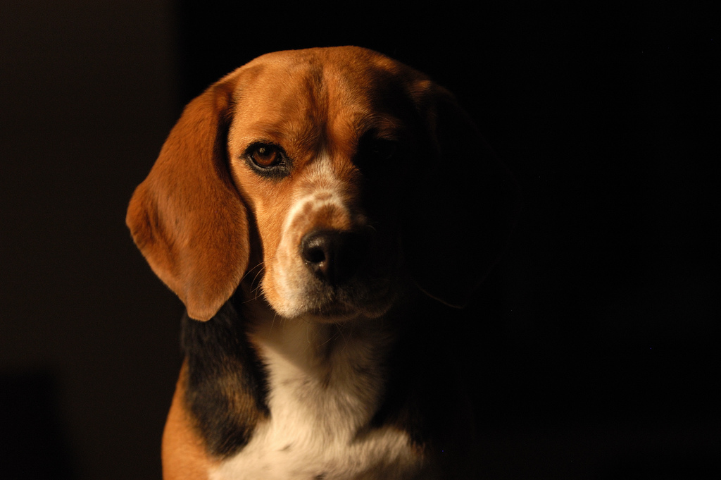 Great Wallpaper Black Adorable Dog - beagle-dogs-pictures-1  Collection_586164  .jpg