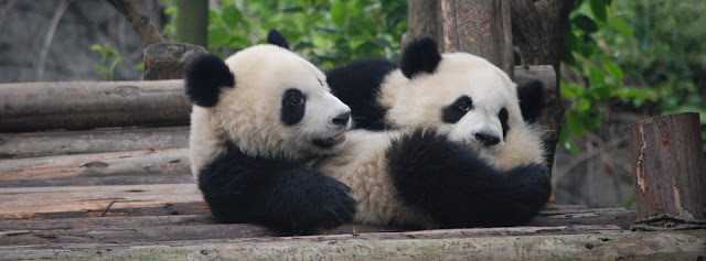 Facebook Cover Photo - Pandas in China