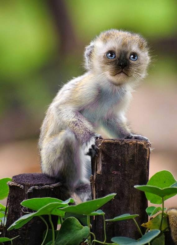 Mittens, Hewan Hybrid Kombinasi Kucing dan Monyet