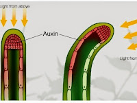 Fungsi Hormon Auksin untuk Tanaman