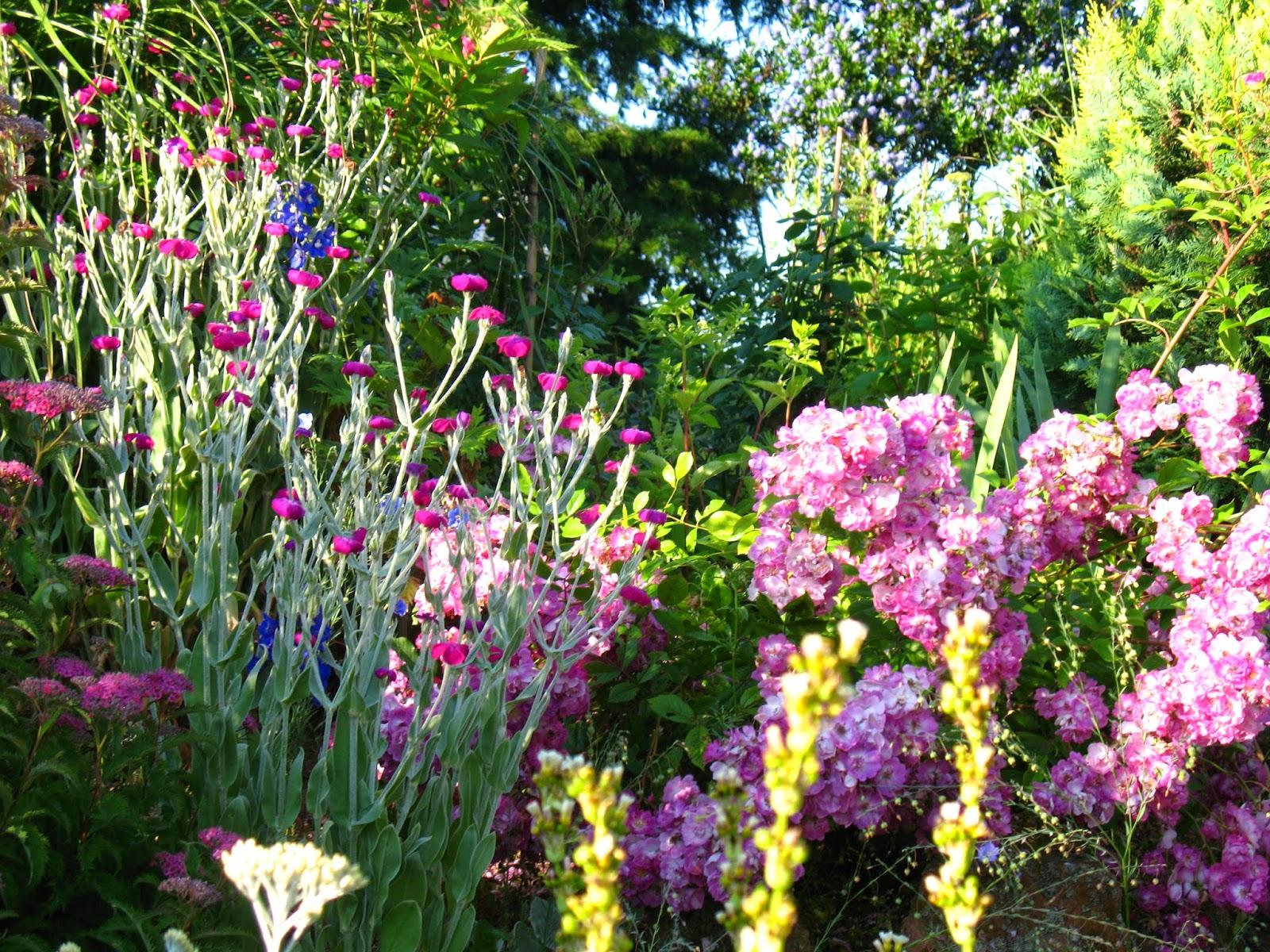 Roses du jardin ch neland lychnis coronaria coquelourde - Coquelourde des jardins lychnis coronaria ...
