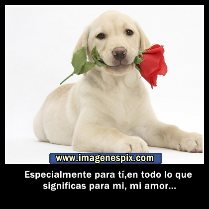Imagenes Pitbull Con Frases De Amor   Todas Frases - Part 2