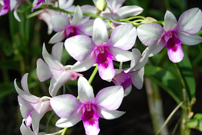 gambar Bunga Anggrek lucu