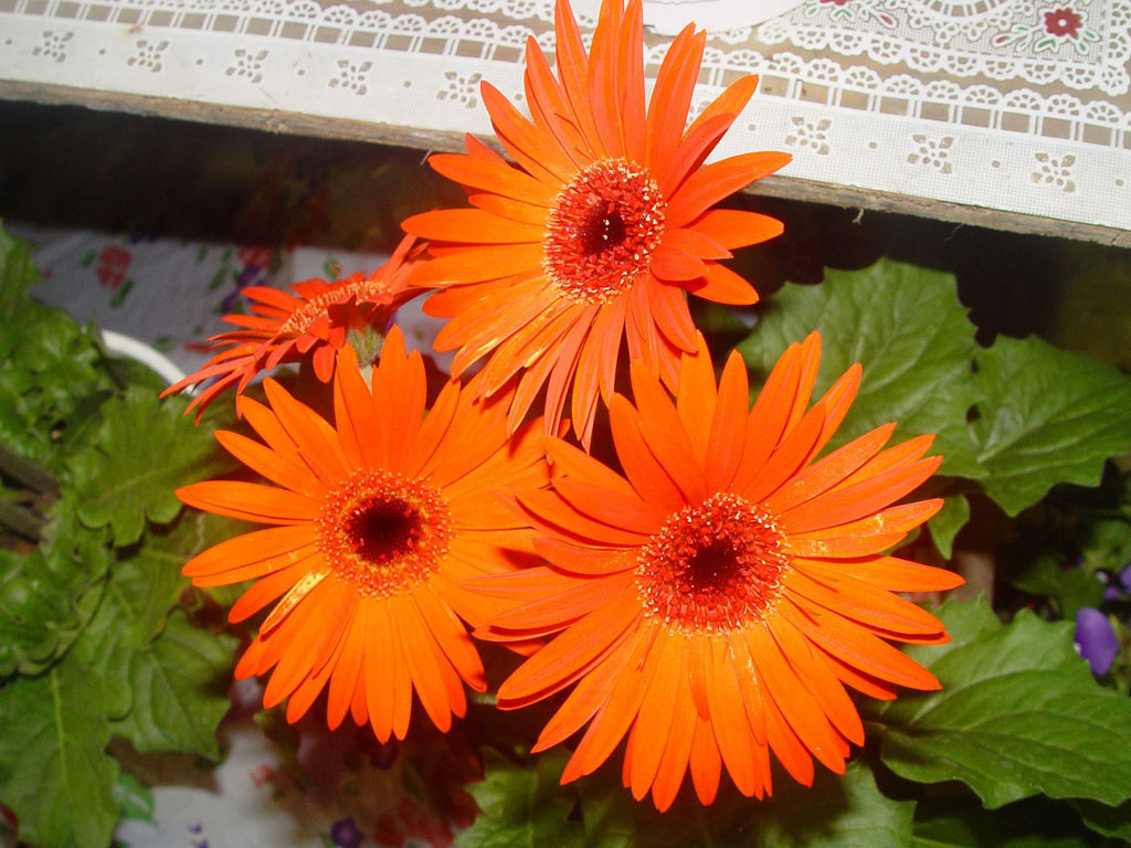 ... Orange Gerbera Daisy Flowers DesktopBackgrounds, Orange Gerbera Daisy