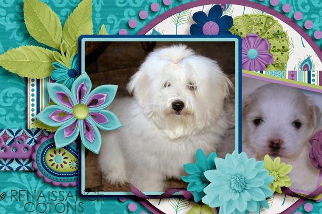Renaissance Coton Puppy