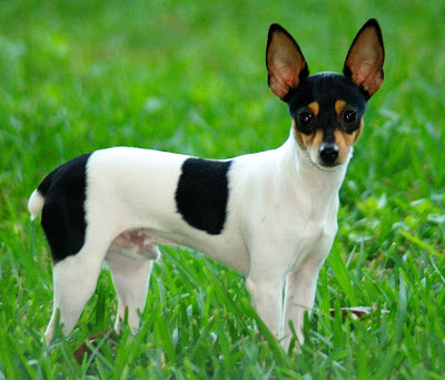 Terrier Puppies on Toy Fox Terrier Puppies Pictures   Dogs   Zimbio
