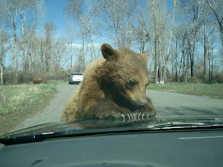 Brown bear on my car