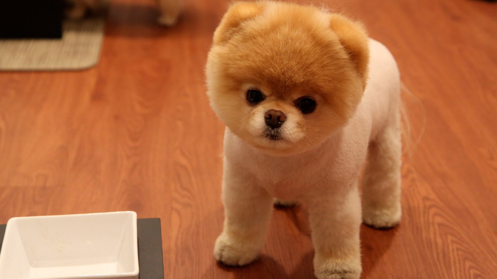 Cute Little Pomeranian Dog